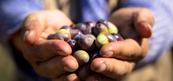 Olive harvest initiative 2020